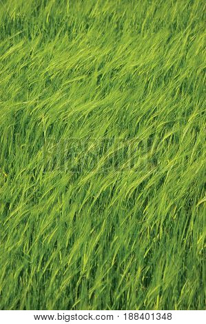 Fresh New Green Common Wild Barley Field Vertical Background Pattern Hordeum vulgare L. Spikes Organic Cereals Metaphor Concept