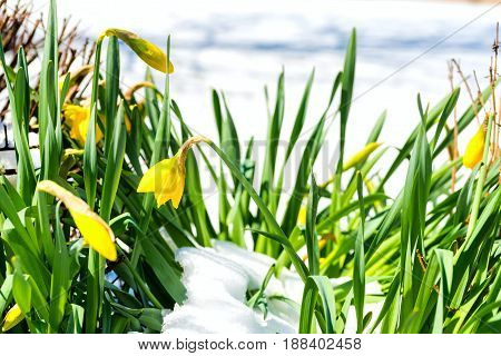 Daffodils trying to bloom through an early spring snow