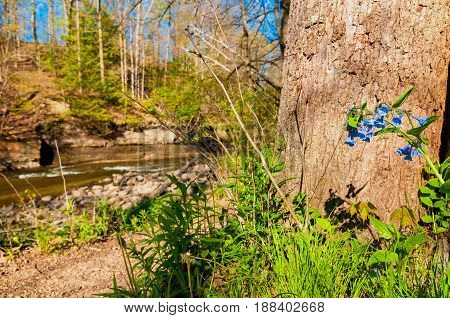 A stalk of spring bluebells grow wild in front of a tree by a creek