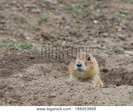 Close up of a Black Tailed Prairie Dog's head peeking out of its burrow Brown rocky soil surrounds the hole. Photographed in Prairie Dog Town, Montana.