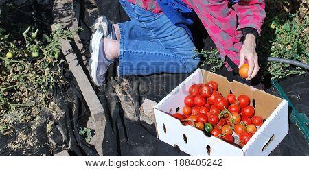 Mature female senior picking organic tomatoes from her garden outdoors.