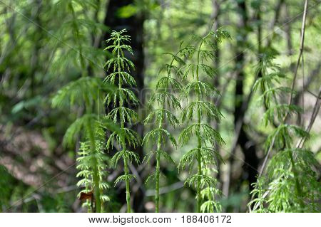 The horsetail growing in the ravine is very similar to the small tree.