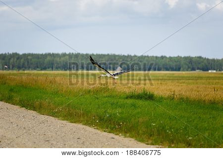 Stork flying on grass field. outdoor shot. ambient light. copy space.