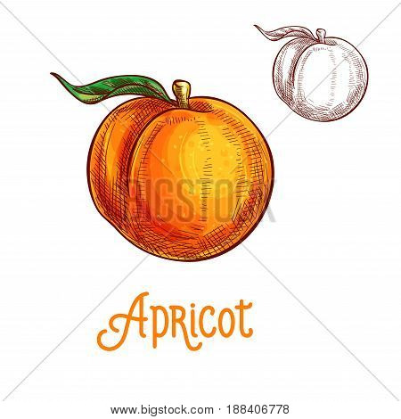 Apricot fruit sketch. Vector isolated icon of fresh whole apricots with leaf. Sweet juicy whole fruit symbol for jam and juice product label or grocery store, shop and farm market design