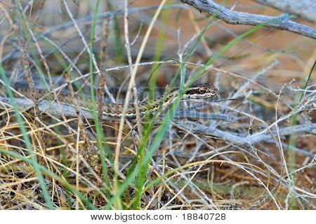 Steppe Ribbon Snake