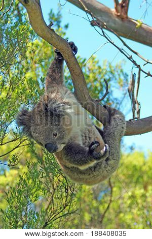 Koala Bear hanging in the eucalyptus trees on Cape Otway in Victoria Australia