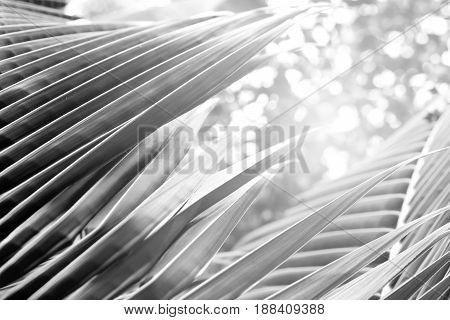 Black and white close up view of beautiful green palm leaf on natural background.