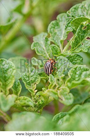 close up of a colorado beetle on a potato leaf