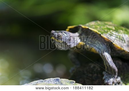 Portrait of a relaxed Turtle. Red Eared Terrapin. Close-up of a Turtle in Sunlight. Trachemys scripta Elegans. Red Eared Slider.