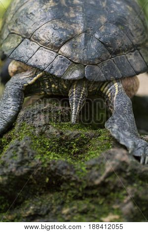 Back view of a Turtle. Red Eared Terrapin. Close-up of a relaxed Turtle. Trachemys scripta Elegans. Red Eared Slider