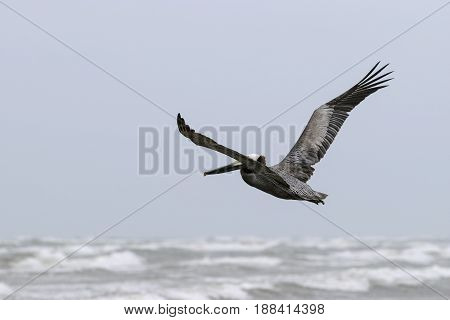 Brown Pelican spreading its wings as it flies gracefully over the whitecaps and surf of the ocean below.