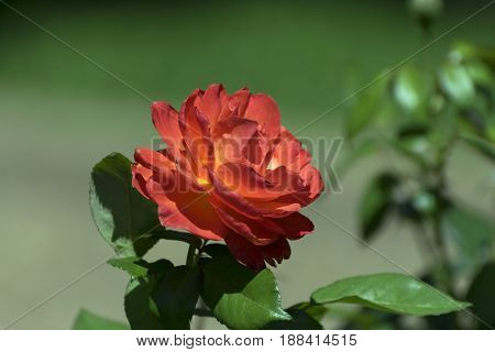 Side view of a beautiful red orange rose in full bloom with it's brilliant colors contrasted against the green leaves and background of a botanical garden.