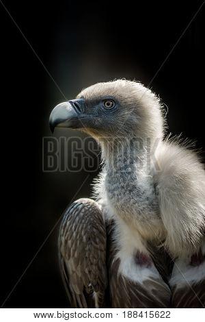 Big bird Griffon vulture (Gyps fulvus) on dark background. Wildlife animal.