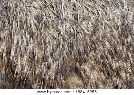 Close-up view of the feathers texture of a ostrich