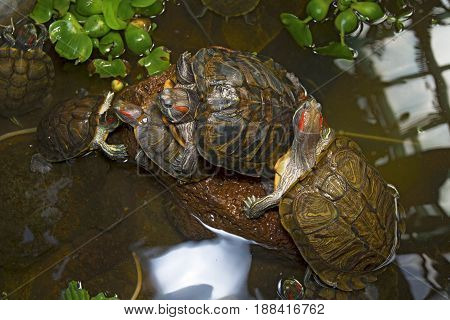 sea turtles crawling in the water enclosure, crawl around each other. beautiful turtles play in the water.