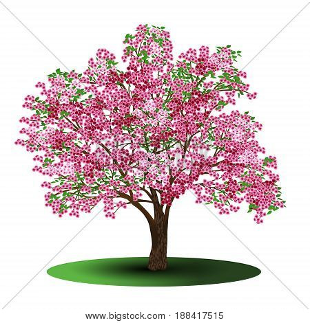 cherry tree with pink flowers on a white background