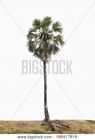 Beautiful sugar palm tree isolated on white background.