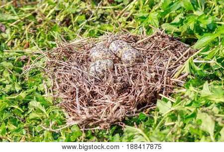 Bird's Eggs in the nest on green grass background. The Red-wattled bird usually lays her egg on the meadow ground.