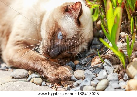 Siamese cat or seal brown cat with grey eyes