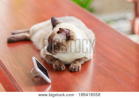 Siamese cat or seal brown cat with grey eyes lying beside smart phone.
