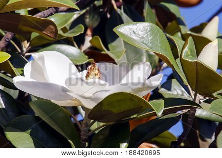 White magnolia flower in foliage with the sky on background