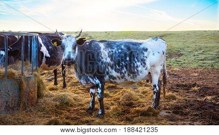Cows Feeding in the morning summer light