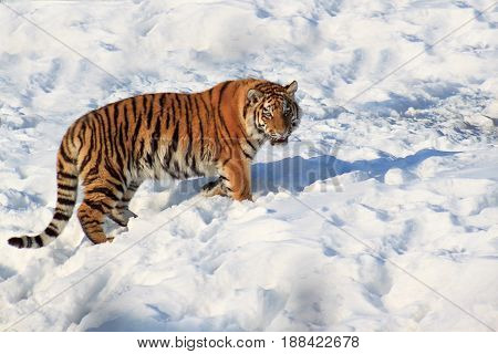 Wild siberian tiger walking on white snow. Sunny winter morning.