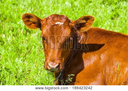 Close-up Of Young Calf Lying On Grass Field Looking Around Cute Cow Cattle Brown Color