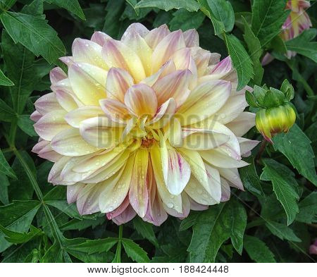 Closeup of dahlia in the garden - the flower is in full bloom with petals in color tones from pink and red to orange and yellow. It's surrounded by dahlias with closed buds.