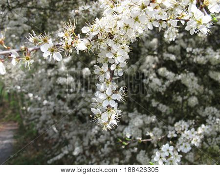 Blackthorn, prunus spinosa, with white flowers in spring