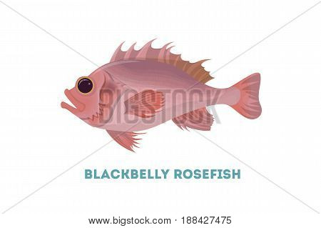 Isolated sebastes fish on white background. Exotic wild fish.