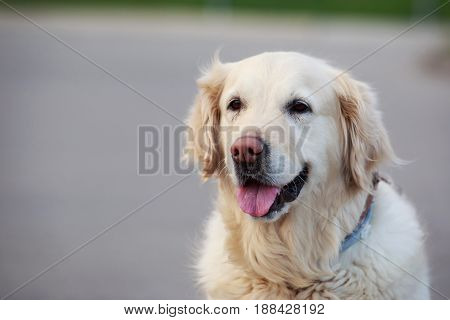 Breeds of dogs Golden retriever on a gray background