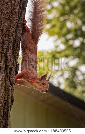 The squirrel came down from a tree at the Kadriorg area in Tallinn Estonia to pose for my camera. He still has his winter fur on.