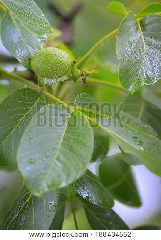 Unripe walnut and walnut tree (Juglans regia) in spring rain