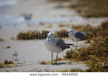 Juvenile Of A Laughing Gull (leucophaeus Atricilla)