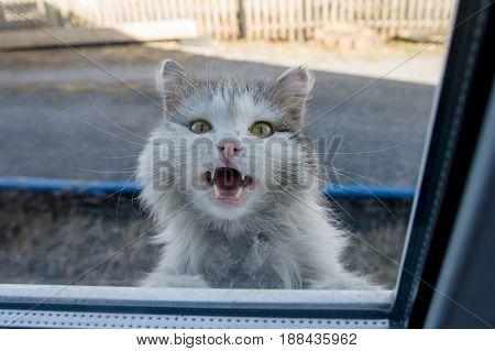 White fluffy cat peeking out the window