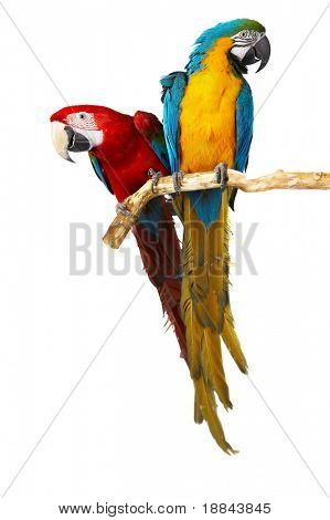 two parrots colorful isolated in white background