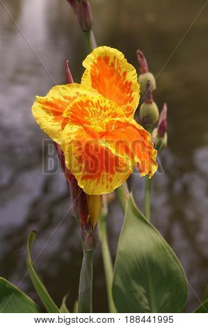 yellow Canna indica flower in nature garden