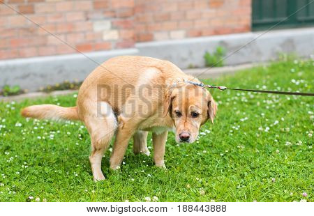 Labrador Retriever Dog Poops In The Park