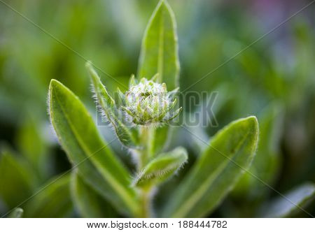 Tender spring flower. Hairy flower bud and leaves. Close-up.