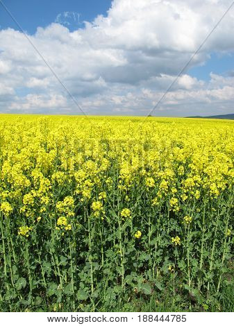 Field of rapeseed with flowers in spring