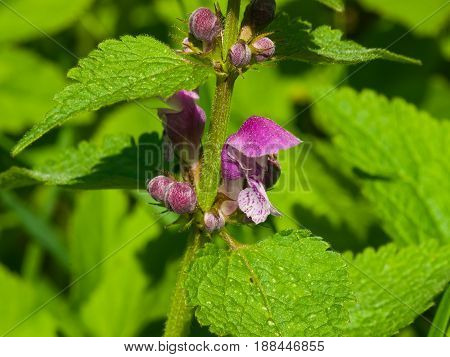 Flowers of blooming Red or Purple Dead-Nettle Lamium Purpureum with leaves on bokeh background macro selective focus shallow DOF.