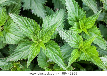 Stinging nettles (Urtica dioica) in the garden. Green leaves with serrated margin. Top view. Close-up.