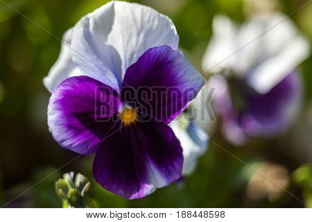 Purple white pansy flowers (Viola tricolor). Close-up.