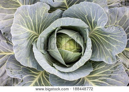 Fresh cabbage head in the vegetable garden. White cabbage. Brassica oleracea. Top view. Close-up.