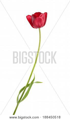 Burgundy Tulip Flower