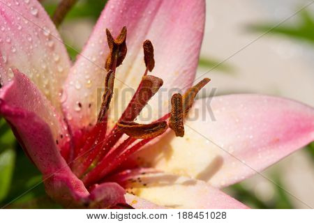 Close up of pink lily in the summer garden.Selective focus