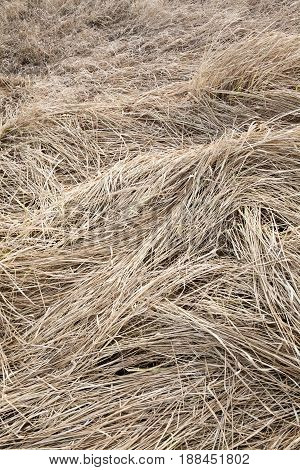 Trampled dry grass in the field. Close up.