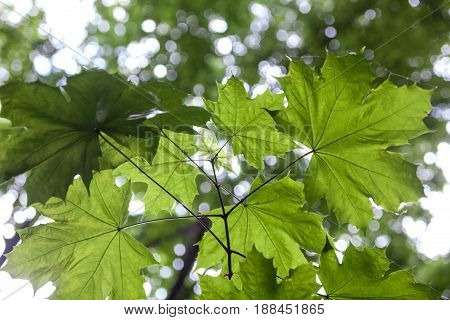 Green leaves of the maple tree (Acer) in the sunshine. Close-up.