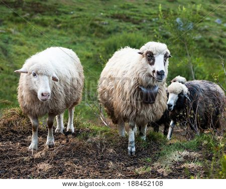 Flock of sheep in the Carpathian mountains.